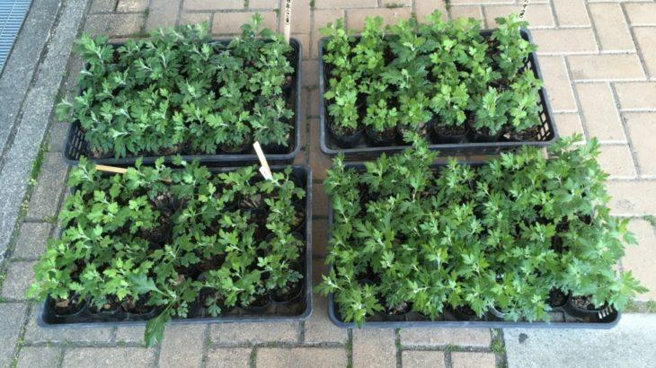 クッションマムの鉢植え(2年目)